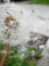 Dandelion2_2